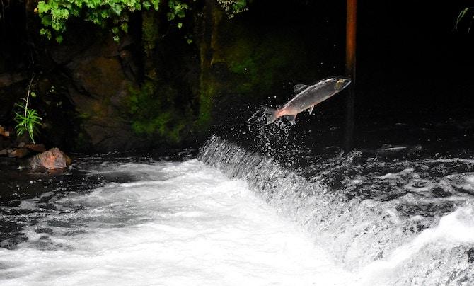 Omega 3 reicher Lachs beim Sprung aus dem Wasser